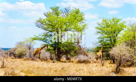 Two Giraffes eating leaves from large Mopane Trees in Kruger National Park in South Africa - Stock Photo