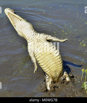 Attack crocodile. Cuban Crocodile (crocodylus rhombifer). The Cuban crocodile jumps out of the water. Cuba - Stock Photo