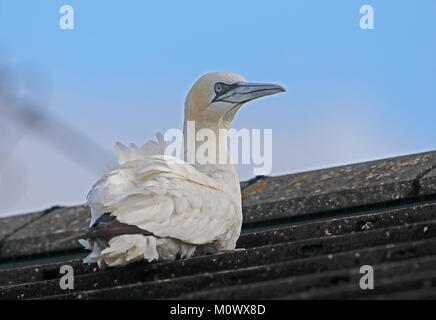 Northern Gannet (Morus bassanus) adult resting on house roof  Eccles-on-Sea, Norfolk, UK        November - Stock Photo