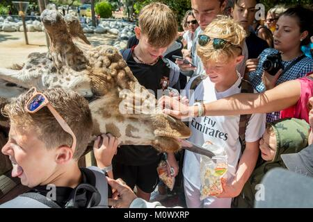 France, Charente Maritime, La Palmyre zoo, children feed the giraffes - Stock Photo