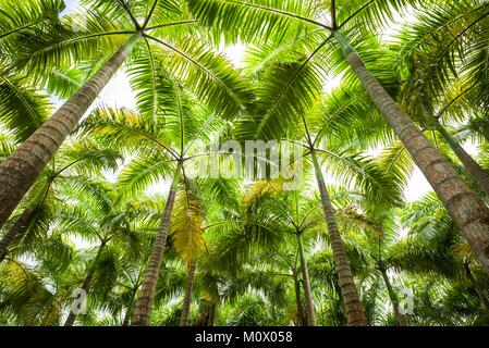 St. Kitts and Nevis,St. Kitts,Molineux,palm tree - Stock Photo