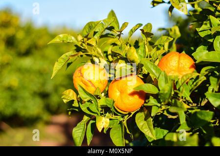 Oranges on the tree in garden - Stock Photo