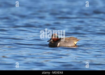 A male green winged teal Anas crecca swimming on a blue lake in winter. - Stock Photo