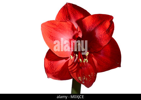 blooming beautiful red amaryllis on white background - Stock Photo