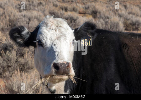 Aneth, Utah - A cow on the open range in southeastern Utah. - Stock Photo