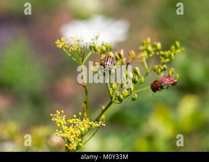 Graphosoma lineatum also know as Italian striped bug minstrel bug & shield bug feeding,  Croatia 2017 - Stock Photo