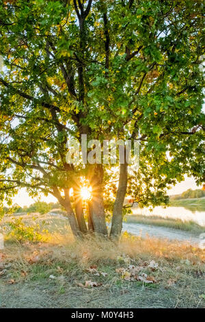 Young oak tree through the branches of which the sun is shining in the sunset - Stock Photo