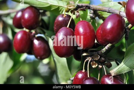 close-up of ripe  red Cornelian cherries on the branch - Stock Photo