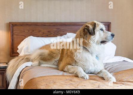 Large dog on a hotel room bed, Saskatchewan, Canada. - Stock Photo