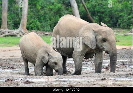 The African Forest Elephant, Loxodonta africana cyclotis, (forest dwelling elephant) of Congo Basin. At the Dzanga - Stock Photo