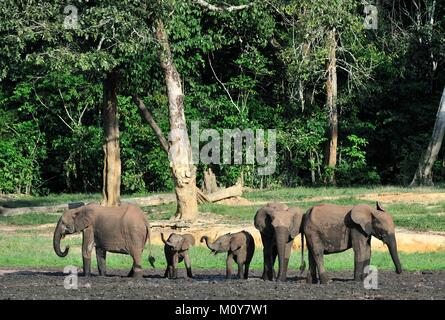The African Forest Elephant? (Loxodonta cyclotis) (forest dwelling elephant) of the Congo Basin. On saline soils - Stock Photo