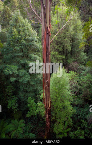 Tall tree viewed from The Otway Fly Tree Top Walk. The Great Ocean Rd Victoria, Australia - Stock Photo