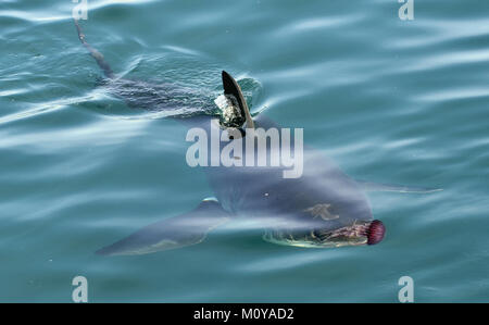 Great white shark ( Carcharodon carcharias) and pink jellyfish at the ocean. Pacific ocean near the coast of South - Stock Photo