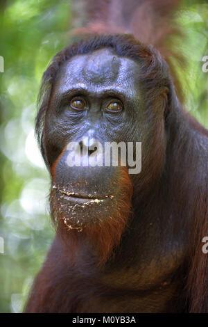 Orangutan Portrait. A close up portrait of the orangutan. Close up at a short distance. Bornean orangutan (Pongo - Stock Photo