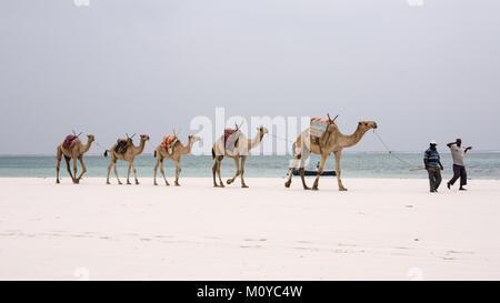 Camel Convoy at the beach - Stock Photo