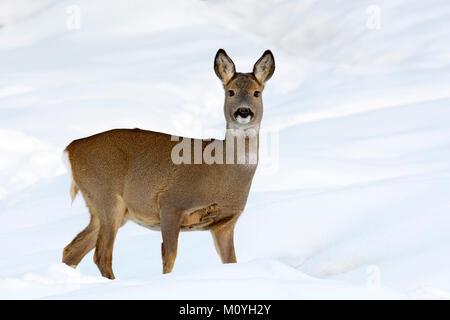 European roe deer (Capreolus capreolus),female,standing in the snow,Tyrol,Austria - Stock Photo