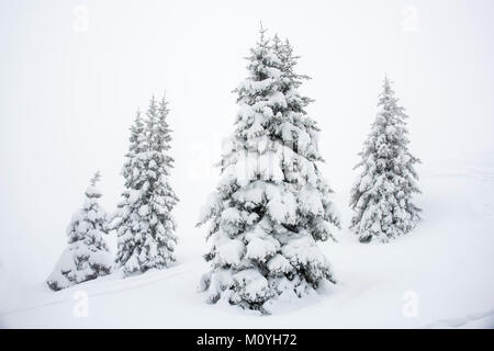 Deep snow covered Spruces (Picea) in winter,Oberallgäu,Bavaria,Germany - Stock Photo