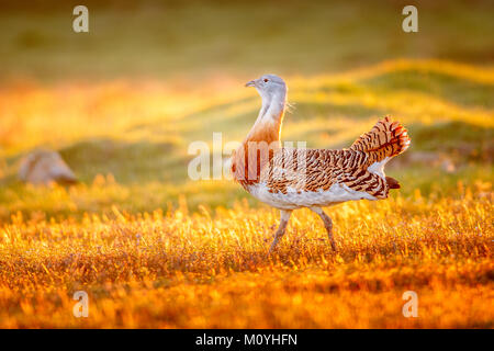 Great bustard (Otis tarda) in a meadow in the morning at sunrise,Castile-La Mancha,Spain - Stock Photo
