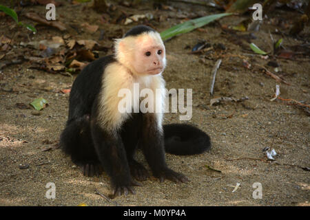 A young white-faced Capuchin monkey sitting beside a hiking trail near Corcovado National Park on the Pacific Coast - Stock Photo