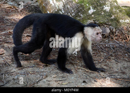 A old white-faced Capuchin monkey walking beside a hiking trail near Corcovado National Park on the Pacific Coast - Stock Photo