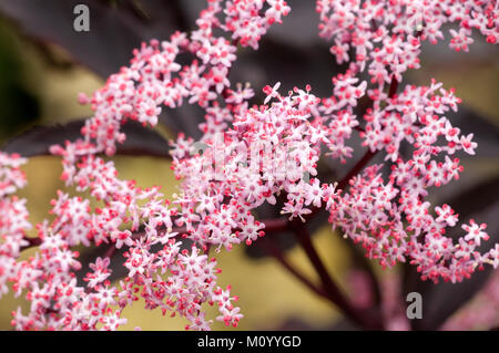 sambucus nigra 39 black beauty 39 garden plant pink flower. Black Bedroom Furniture Sets. Home Design Ideas