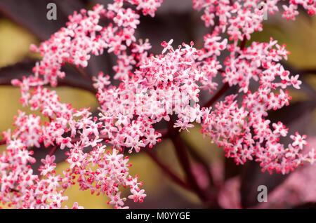 sambucus nigra 39 black beauty 39 garden plant pink flower. Black Bedroom Furniture Sets. Home Design Ideas