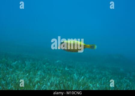Red Sea, Dahab, Egypt. 14th Nov, 2017. juvenile Bluetail Trunkfish (Ostracion cyanurus) swim over sea grass Credit: - Stock Photo