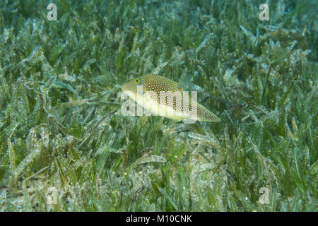 Red Sea, Dahab, Egypt. 14th Nov, 2017. Pearl Toby (Canthigaster margaritata) swim over sea grass Credit: Andrey - Stock Photo