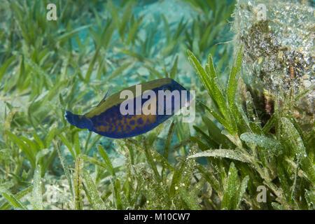Red Sea, Dahab, Egypt. 14th Nov, 2017. Baby Bluetail Trunkfish (Ostracion cyanurus) swims in the green sea grass - Stock Photo
