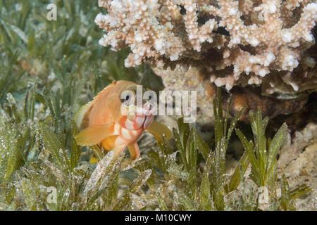 Red Sea, Dahab, Egypt. 14th Nov, 2017. Blacktip Grouper (Epinephelus fasciatus) lies on the sea grass under coral - Stock Photo