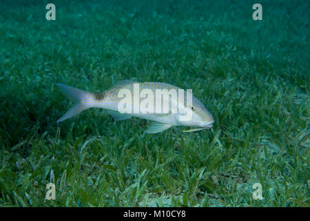 Red Sea, Dahab, Egypt. 14th Nov, 2017. Twospot Goatfish (Parupeneus rubescens) swim over sea gras. Credit: Andrey - Stock Photo