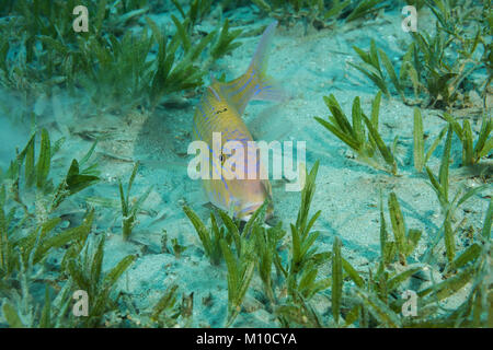 Red Sea, Dahab, Egypt. 14th Nov, 2017. Cinnabar Goatfish (Parupeneus heptacanthus) hiding in the sea grass Credit: - Stock Photo