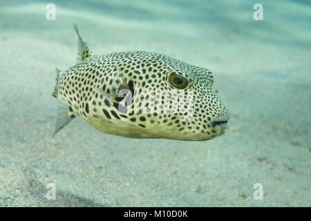 Red Sea, Dahab, Egypt. 14th Nov, 2017. young Star Pufferfish (Arothron stellatus) swim over sandy bottom Credit: - Stock Photo