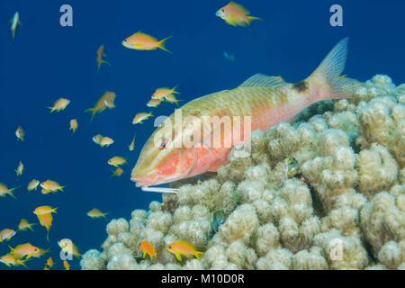 Red Sea, Dahab, Egypt. 14th Nov, 2017. Twospot Goatfish (Parupeneus rubescens) lies on the coral. Credit: Andrey - Stock Photo