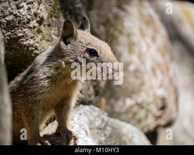 Cute squirrel in Yosemite National Park, California Stock Photo