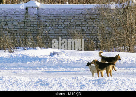 Stray dogs on the winter road. - Stock Photo