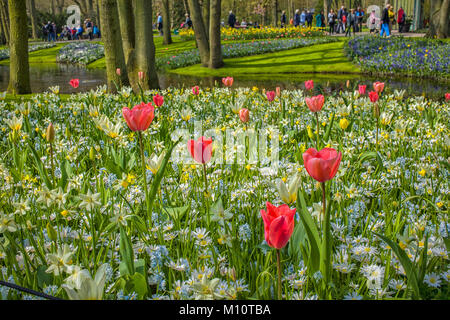 Beautiful pink, white and yellow flowers in a flowerbed at the Keukenhof in the Netherlands - Stock Photo