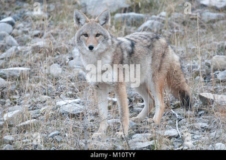 Coyote (Canis latrans) along the Smith Dorrien Trail in Banff National Park, Alberta - Stock Photo