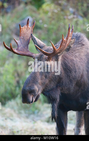 Bull Moose (Alces alces) in Bella Coola, British Columbia - Stock Photo