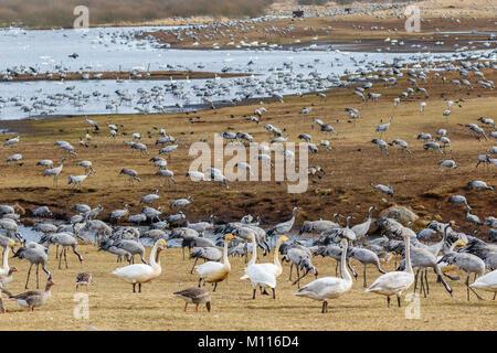 View of cranes and swans at lake Hornborgasjon in Sweden - Stock Photo