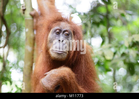 Adult female orangutan hanging from tree branches in Gunung Leuser National Park, Sumatra, Indonesia. - Stock Photo