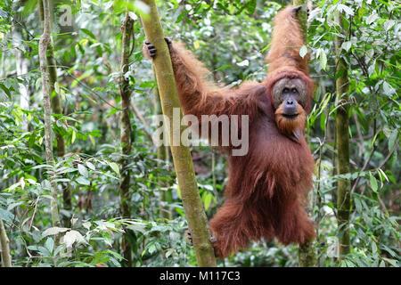Sumatran orangutan (Pongo abelii) mature male. Gunung Leuser National Park Sumatra Indonesia. - Stock Photo