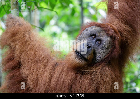 Sumatran orangutan (Pongo abelii) mature male. Gunung Leuser National Park Sumatra Indonesia. - Stock Photo