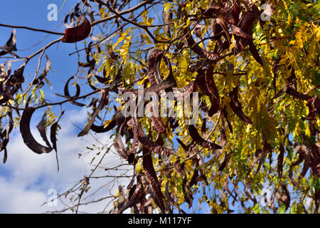 Carob tree (Ceratonia siliqua) with its locust bean fruit growing in Greece - Stock Photo