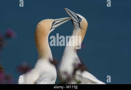 Pair of Northern Gannet Morus bassanus beak fencing in courtship display on a Northern England cliff ledge. - Stock Photo