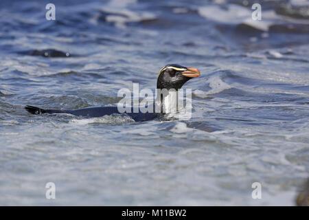 Fiordland Penguin, Eudyptes pachyrhynchus, swimming close to the shore - Stock Photo