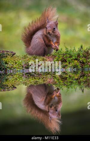Red Squirrel Hawks Wensleydale North Yorkshire UK