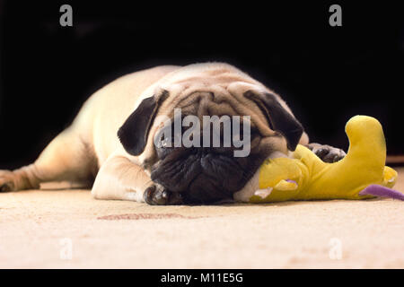 A sad pug with a plush yellow toy lies on a floor - Stock Photo