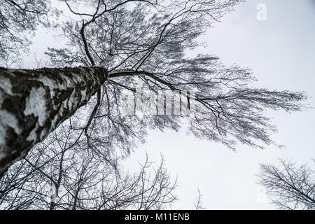 Majestic birch tree during the swedish winter - Stock Photo