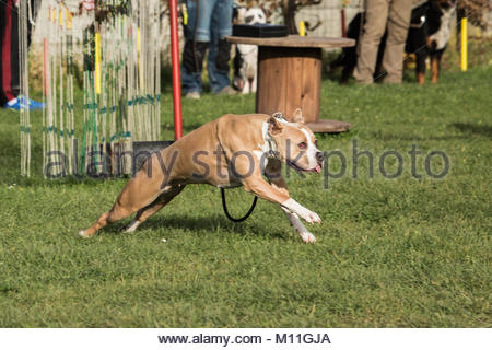 American Staffordshire Terrier dog - Stock Photo